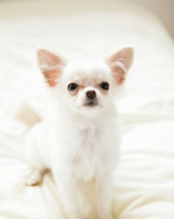 All Small Dogs wallpaper called The Charming Chihuahua