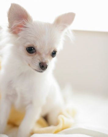 All Small Dogs wallpaper probably with a chihuahua entitled The Charming Chihuahua