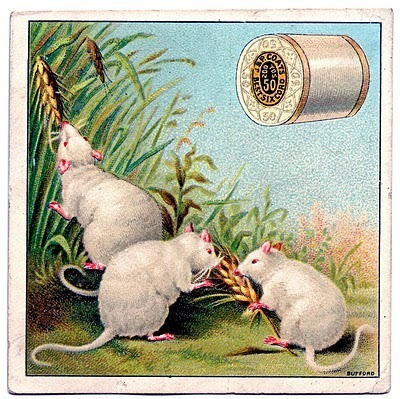 Three white mice enjoy wheat stalks