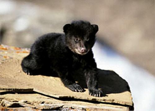 baby oso, oso de