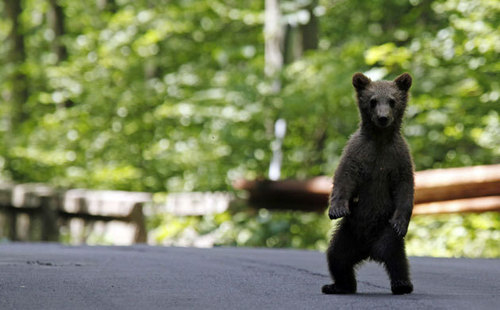 baby медведь