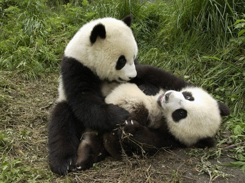Baby Animals wallpaper containing a giant panda titled baby bear