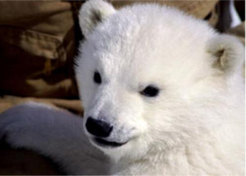 baby menanggung, bear