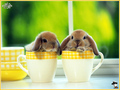 baby bunny - baby-animals photo