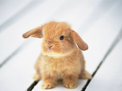 Baby Animals wallpaper entitled baby bunny