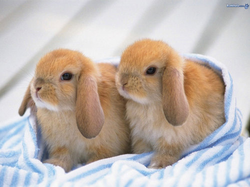 Baby Animals wallpaper titled baby bunny
