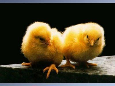 Baby Animals wallpaper called baby chick