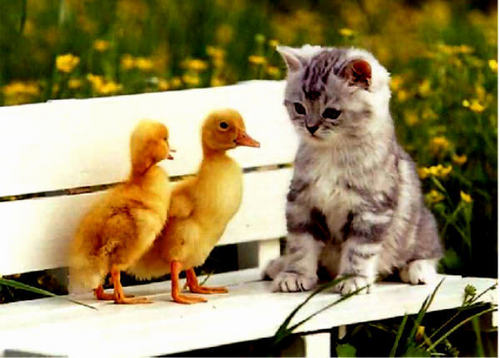 baby kitten & baby chicks