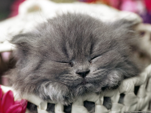 Baby Animals wallpaper containing a persian cat entitled baby kittens