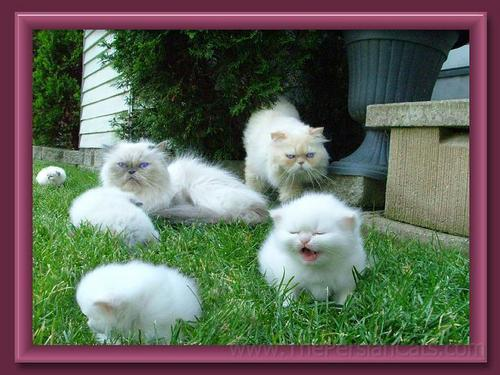Baby Animals wallpaper possibly with a persian cat called baby kittens