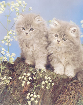 Baby Animals wallpaper with a persian cat titled baby kittens