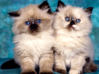 Baby Animals wallpaper probably containing a persian cat entitled baby kittens