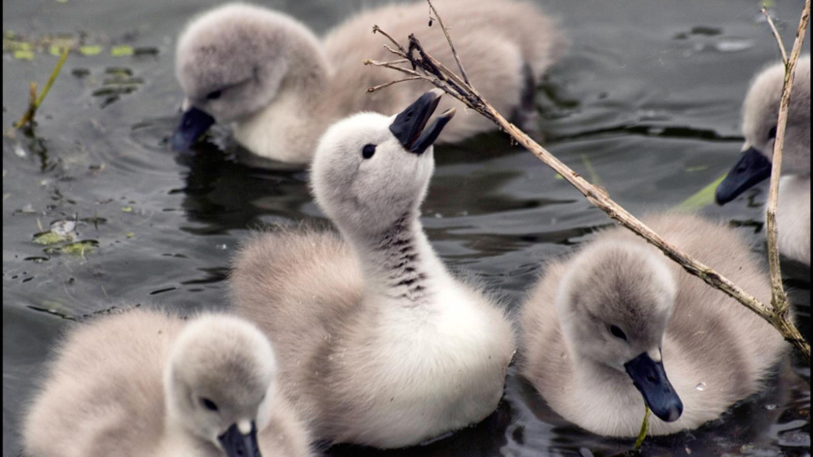 baby 天鹅