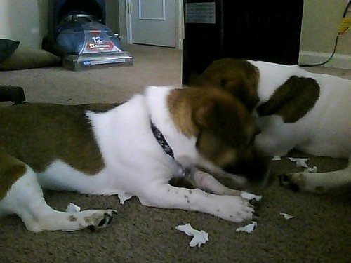 bad puppys eat paper - puppies Photo