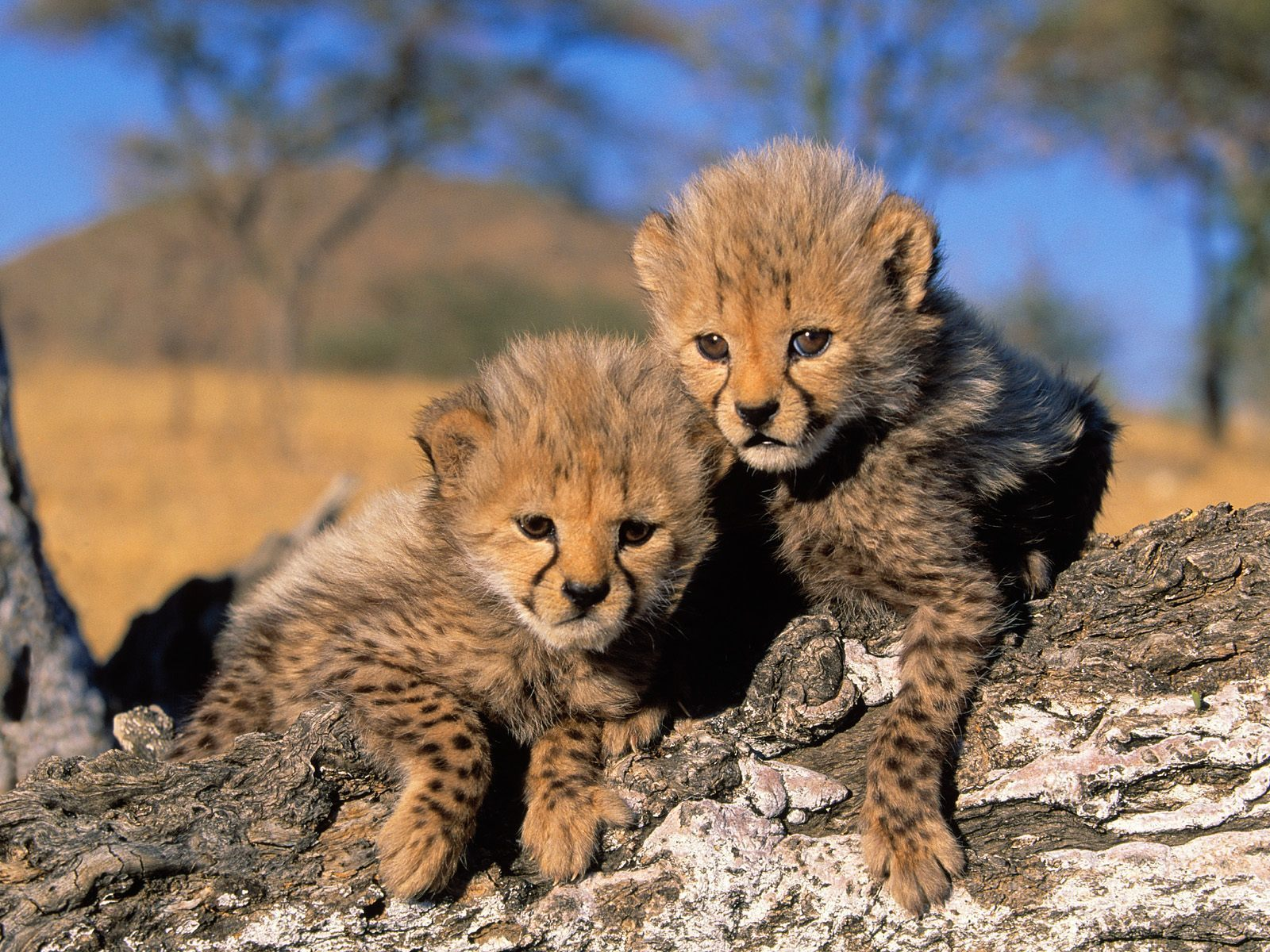 Baby animals cheetah cubs