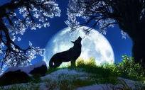 wolf howling at the moonlight