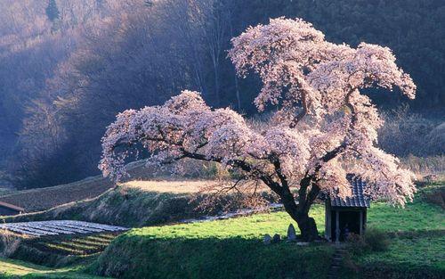 ceri, cherry Blossom pokok