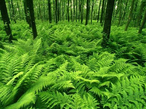 Green Forest of Ferns