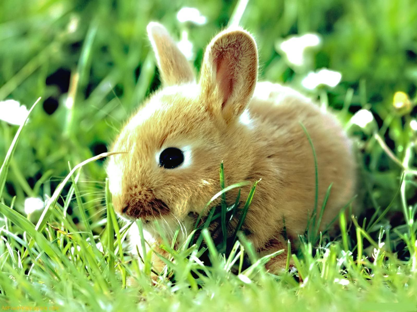 baby bunny images baby bunny hd wallpaper and background