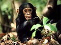 baby chimp - baby-animals photo