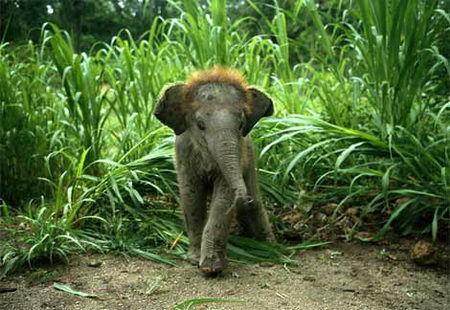 baby 象, 大象