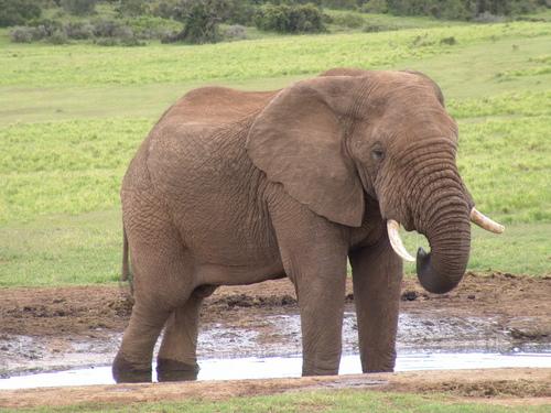 baby gajah
