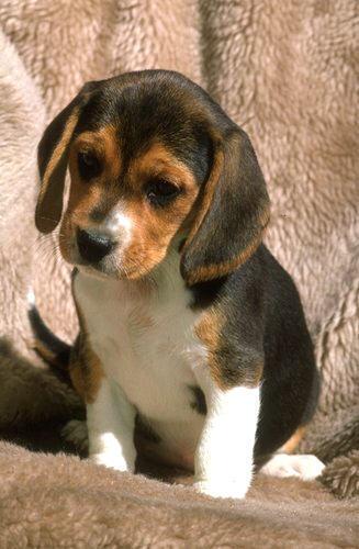 小猎犬, 比格犬 pups
