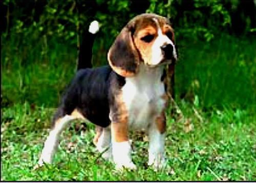 ビーグル pups