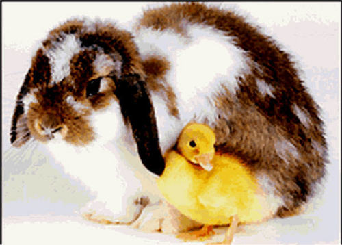 bunny with a chick
