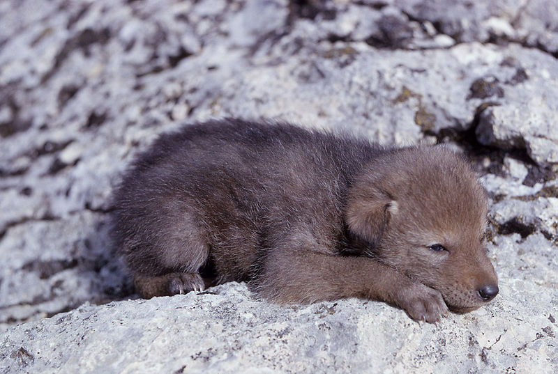 Newborn Coyote coyote pup - Baby Anim...