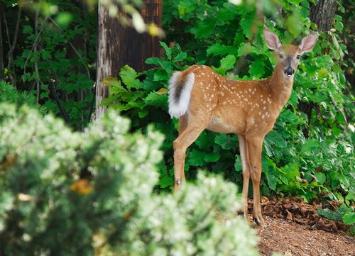 子鹿, フォーン deer