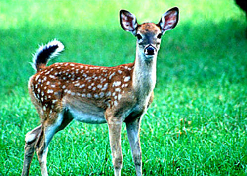 adular, fawn deer