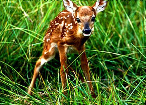 hươu con, nâu vàng, fawn deer