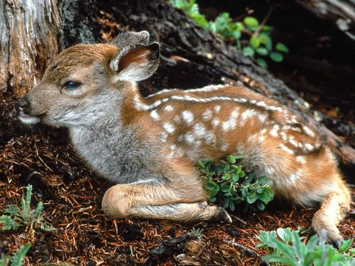 Baby Animals wallpaper entitled fawn deer