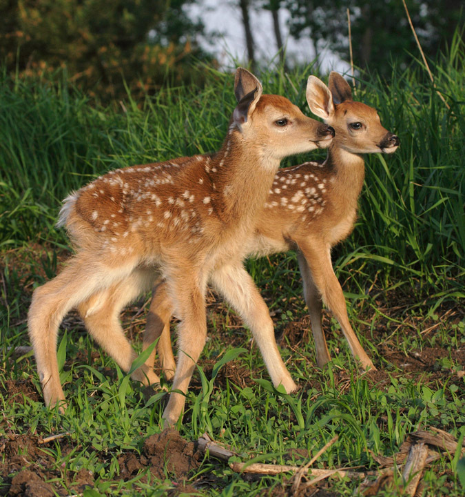 baby whitetail fawn in -#main