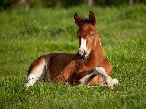 horse poulain