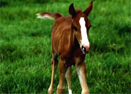 horse fohlen