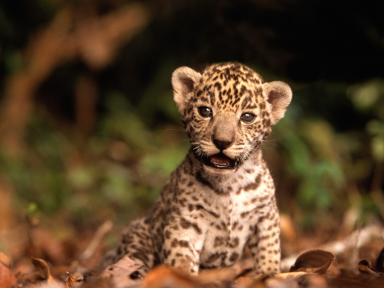 baby animals images jaguar cub hd wallpaper and background