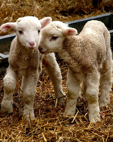 Baby Animals Images Lamb Baby Sheep Wallpaper And Background Photos
