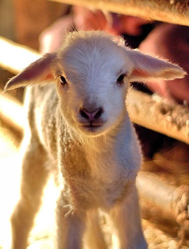 lamb-baby sheep