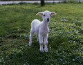 lamb-baby sheep - baby-animals photo