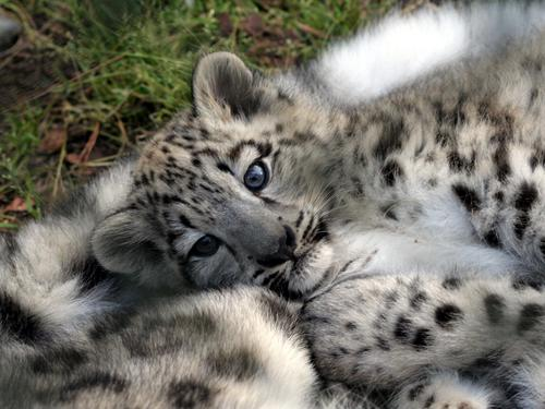 Baby Animals wallpaper possibly containing a snow leopard titled leopard cub