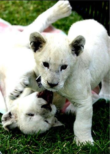 anak singa, singa cub
