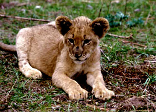 lion cub - baby-animals Photo
