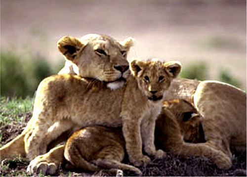 Baby Animals wallpaper probably with a lion, a lion cub, and a lioness titled lion cub