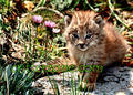 lynx cubs - baby-animals photo
