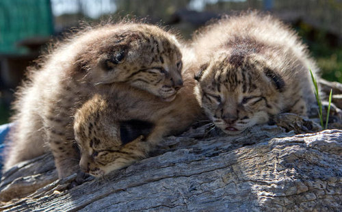 Baby Animals wallpaper titled lynx cubs