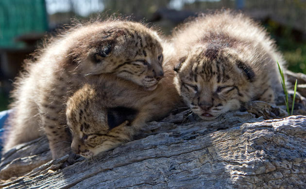 Lynx Cubs Baby Animals Photo 19837870 Fanpop