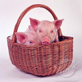 piglets - baby-animals photo