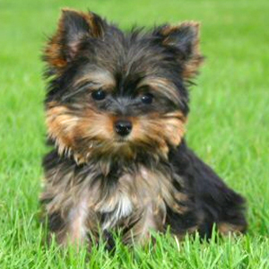 Baby Animals wallpaper with a yorkshire terrier entitled puppies